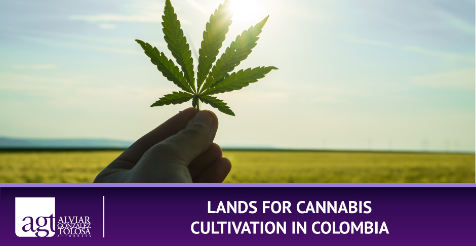 Marihuana Leaf with Field for Cropping Cannabis in Colombia